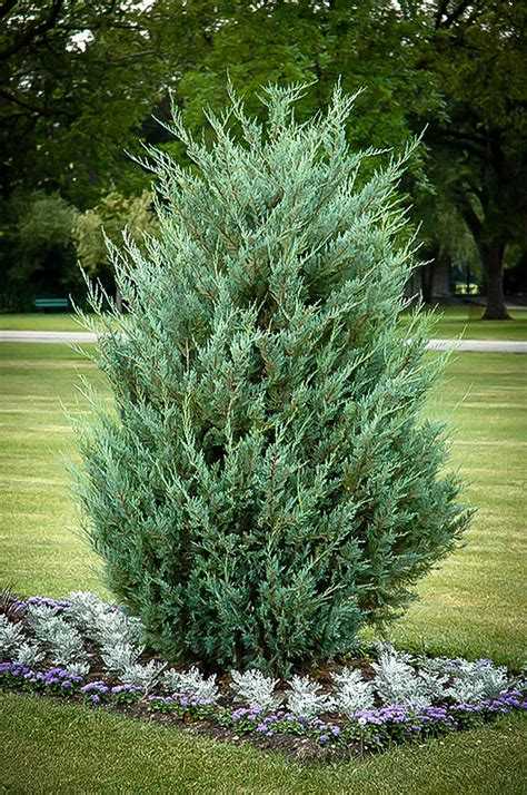 juniper tree images moonglow juniper for sale the tree center