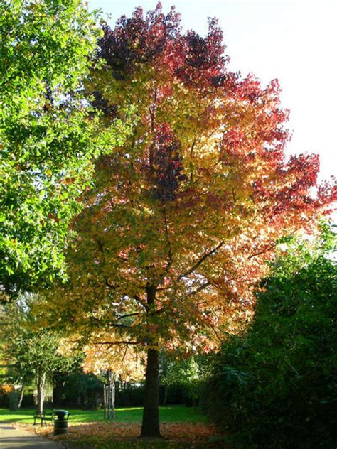 2 maple tree maple tree pictures information on the maple tree species