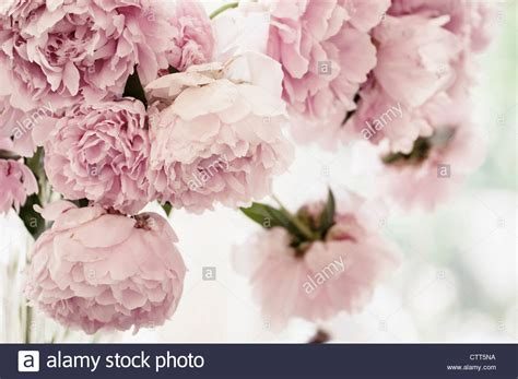 pink peonies photograph by ruby hummersmith paeonia lactiflora peony pink cut flowers arranged in a