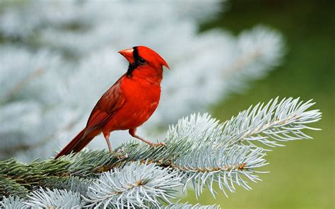 bird wall paper red birds wallpapers entertainment only