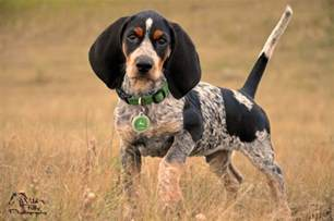 bluetick coonhound coonhounds www bluetick1kennels com