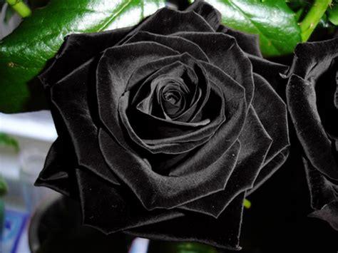 imagenes de rosas negras y moradas 191 sab 237 as que las rosas negras s 237 existen de forma natural