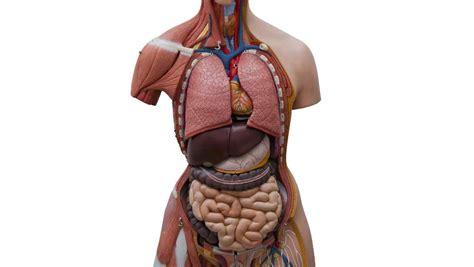 interior del cuerpo humano organos cient 237 ficos descubrieron un nuevo 243 rgano en el cuerpo