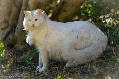 Grom The Turkish Angora Photograph by Itay Dollinger