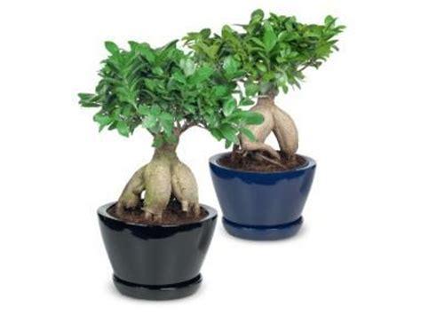 Ginseng Per Kilo bonsai schaal
