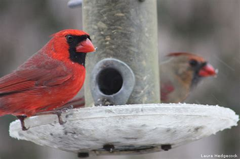 best 28 where do cardinals go in the winter cardinal