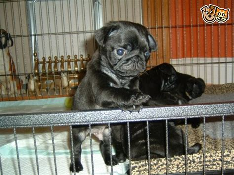 pugs for sale derby pug puppies for sale derby derbyshire pets4homes