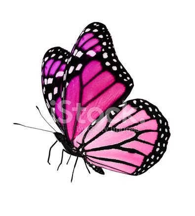 Gamis Buterfly Premium White Pasmina pink butterfly flying isolated on white background stock photos freeimages