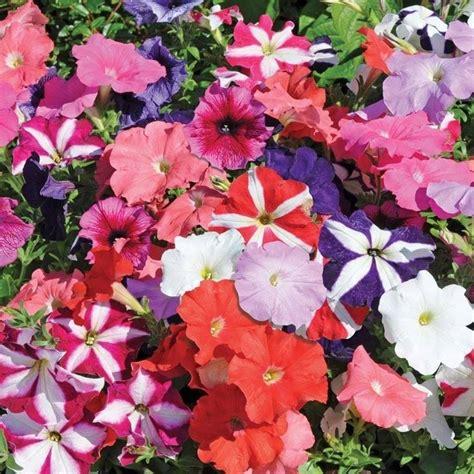 fiori petunie petunia petunia piante annuali scopri come coltivare