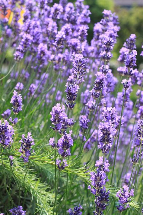 most fragrant lavender plants top 10 fragrant plants for a sensory garden paradise