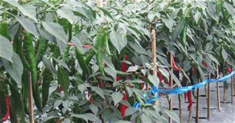 Pepaya California Hibrida budidaya cabai merah tanam sayuran