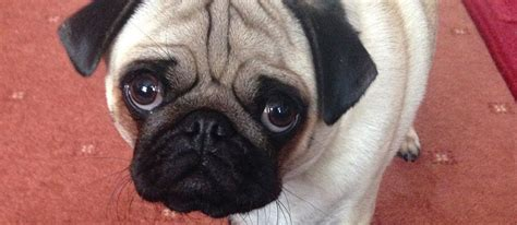 pug eye injury your pug s adorable pugbase
