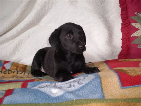 black golden retriever puppies for sale black golden retriever puppies for sale labrador x litle pups