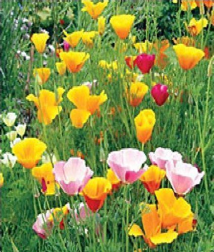 Jual Bibit Bunga Poppy jual berbagai bibit bunga hias jual bibit bunga murah