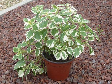 Pianta Incenso Inverno pianta di incenso vendita il giardino della salute