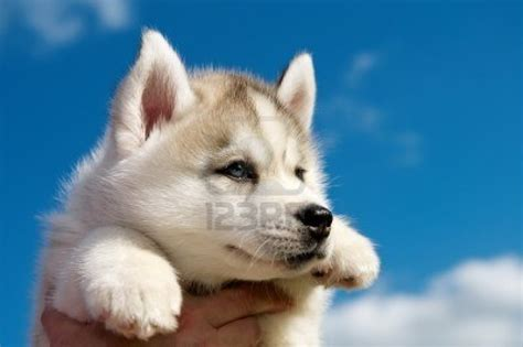 puppies husky puppy dogs brown siberian husky puppies