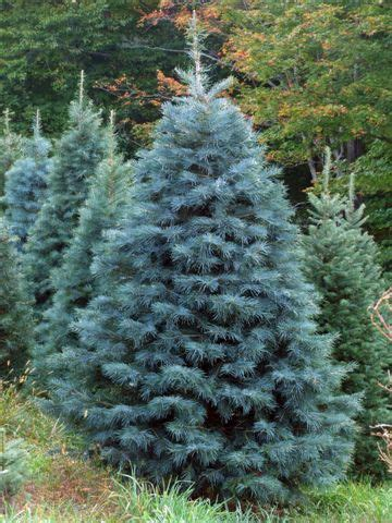 does concolor fir smell like oranges concolor fir smells like citrus the holidays and such firs and evergreen trees