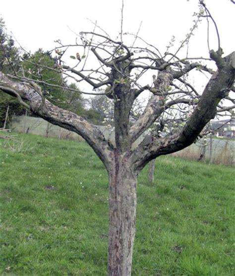 Schneiden Apfelb Umen 4175 by Kirschbaum Richtig Schneiden Kirschbaum Schneiden So