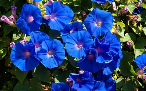 s3 wallpaper flower name 10 list of blue flowers names free wallpapers