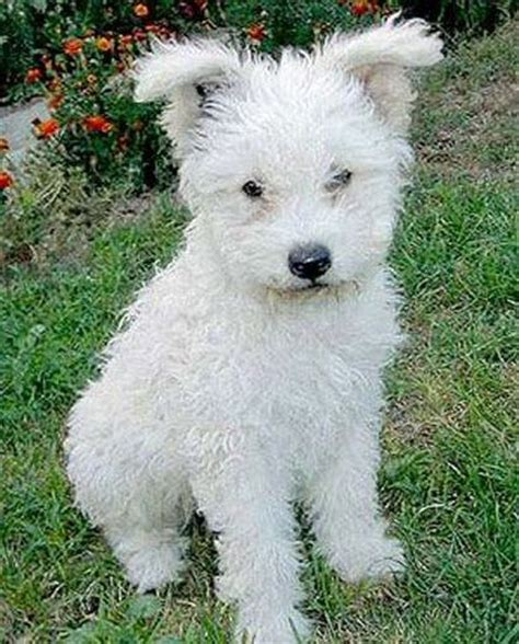 pumi puppies for sale photos 17 best images about pumi on puppys kitchen tables and my best friend