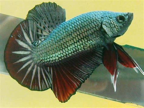 Cupang Plakat Cooper sejarah ikan cupang plakat pengusaha cupang