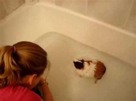 Pig In A Bathtub by Guinea Pigs Bathing