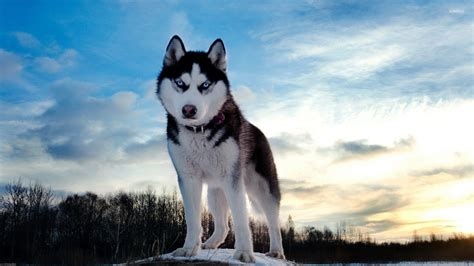 husky wallpaper blue eyes husky with beautiful blue eyes at sunset wallpaper