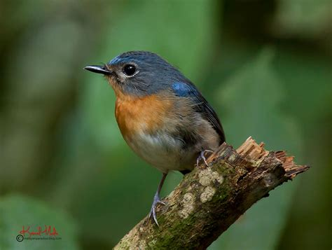 bird s south east asia birds malaysia birds paradise tickell s