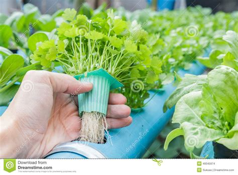 hydroponic root vegetables hold coriander planting water hydroponics stock photo