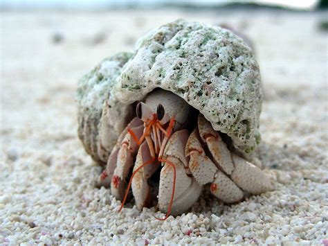 Hermit Crab Heat L by Abcs Of Animal World Unique Hermit Crabs In The World
