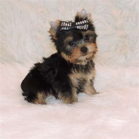 teacup yorkie information pin yorkies information image search results on