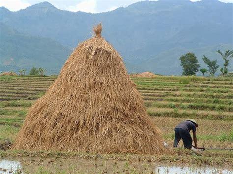 Starbio Ternak Kambing berkebun cara fermentasi jerami untuk pakan ternak domba