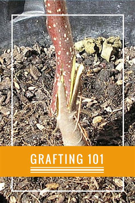 fruit tree grafting methods 1000 ideas about grafting fruit trees on