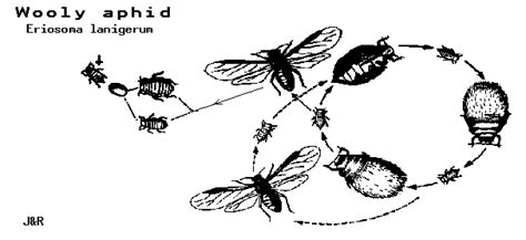cycle of aphids diagram woolly aphid diagram