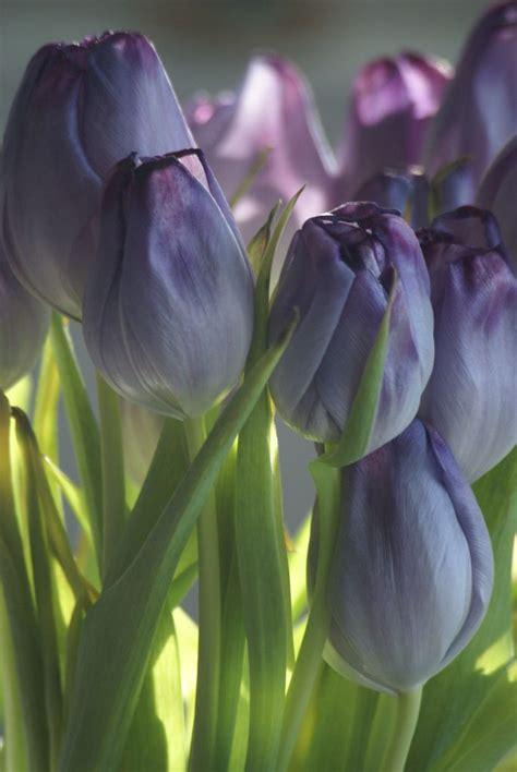 Mukena Bunga Tulip Green more purple tulips hi tea tulip purple tulips and purple