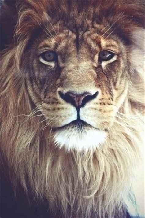 Imagenes De Leones Tumblr | leon de la tribu de juda tumblr