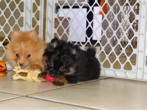 pomeranian puppies for sale sc pomeranian puppies dogs for sale in charleston south carolina sc rock hill