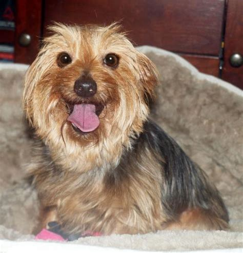 yorkie rescue ct korky s web page