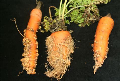 root knot nematode resistant vegetables root knot nematode on carrot