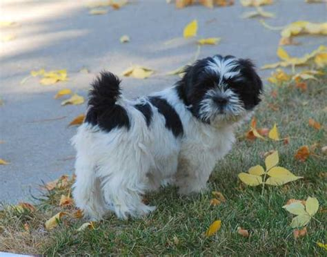 shih tzu black and white 28 best black and white shih tzu pictures
