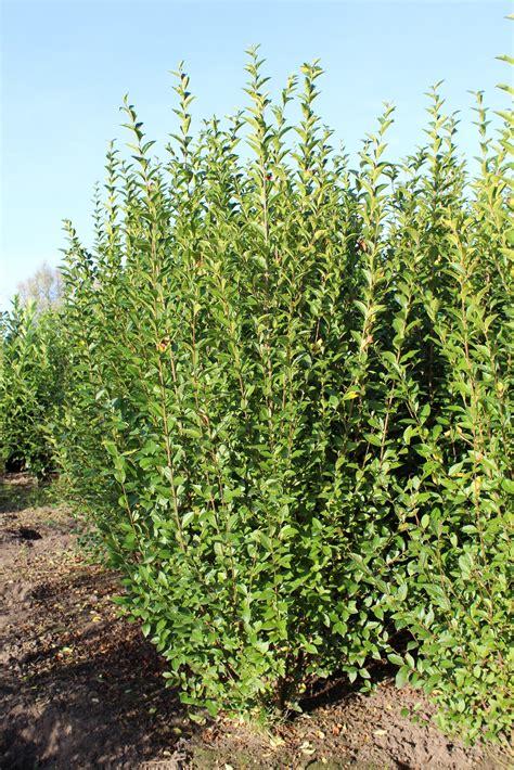 Sichtschutz Mit Pflanzen 3198 by Ligustrum Ovalifolium Ligustrum Assortiment