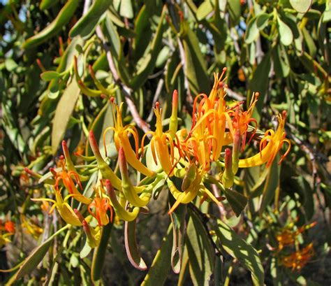 the mistletoe as australian as the gum tree