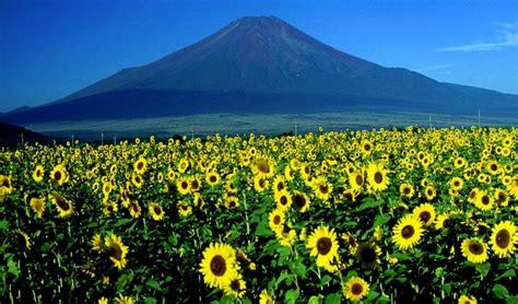 Air 2 Di Jepang himawari bunga ikonik musim panas di jepang review