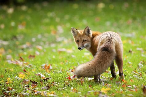 how can a live with distemper wildlife officials concerned about spread of distemper from foxes to pets vermont