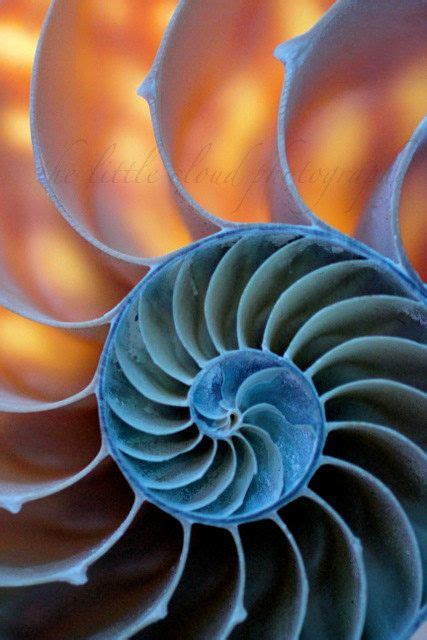 nautilus shell kirlian photograph photograph best ideas about nature s spirals fractals in nature and
