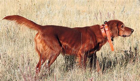 irish setters gun dog magazine irish setters gun dog magazine