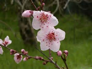 1000 images about prunus persica on pinterest