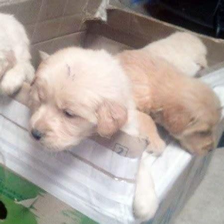 comprar golden retriever costa rica venta de cachorros golden retriever en bogota colombia pettito