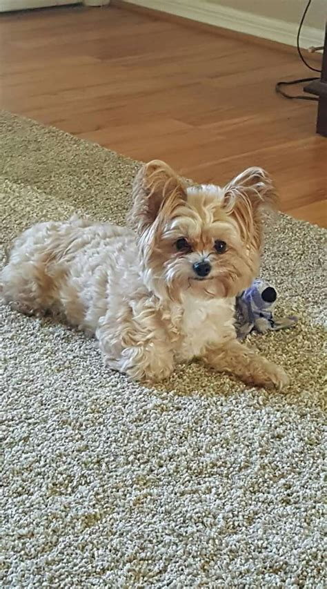 teacup yorkies for sale in wilmington nc 17 best ideas about mini yorkie on teacup yorkie micro teacup yorkie and