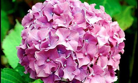 fiore ortensia ortensia hidrangea piante da giardino ortensia